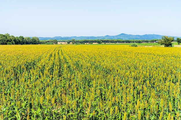 Corn fields in cycling path of llagostera.