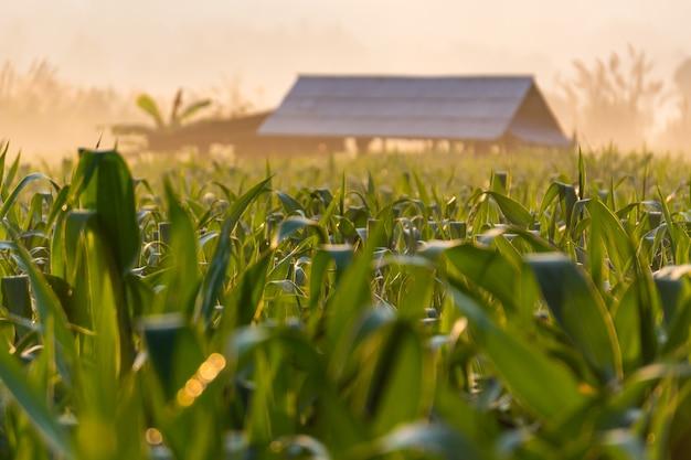 오두막으로 아침 일출 동안 옥수수 밭