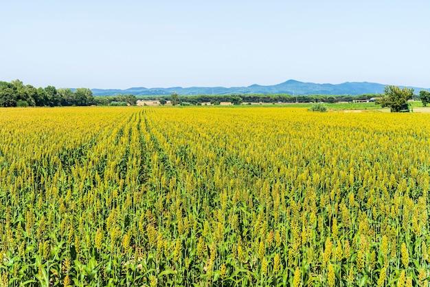 Кукурузные поля на велосипедной дорожке ллагостера.