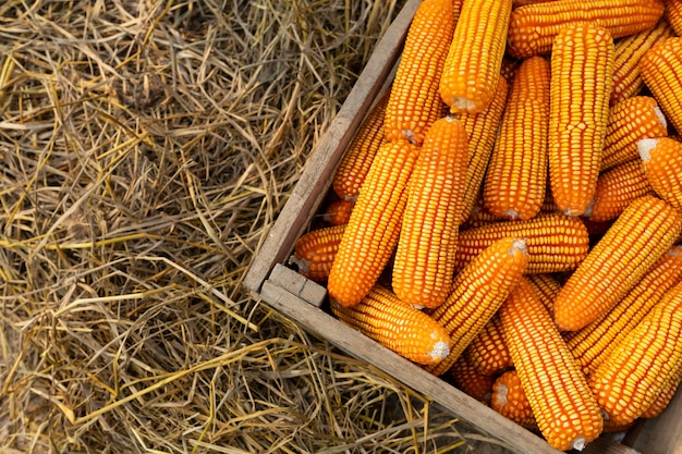 Corn for food in the wooden box, yellow corns as background.