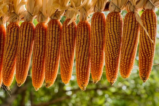 Corn fruits on nature background.