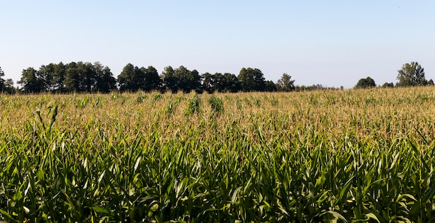 Corn growing in agricultural fields, green immature