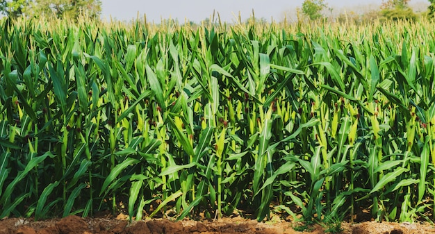 Corn growing in plantation