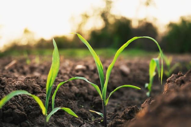 農家の農場で栽培されているトウモロコシが成長しています。夕方には穏やかな日差しがあります。