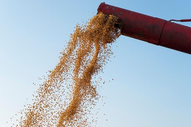 Corn harvest combine unloading corn seeds after harvest.