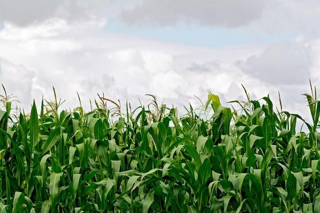 空と雲を背景にトウモロコシ畑のトウモロコシ