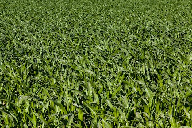 Кукуруза в сельском хозяйстве