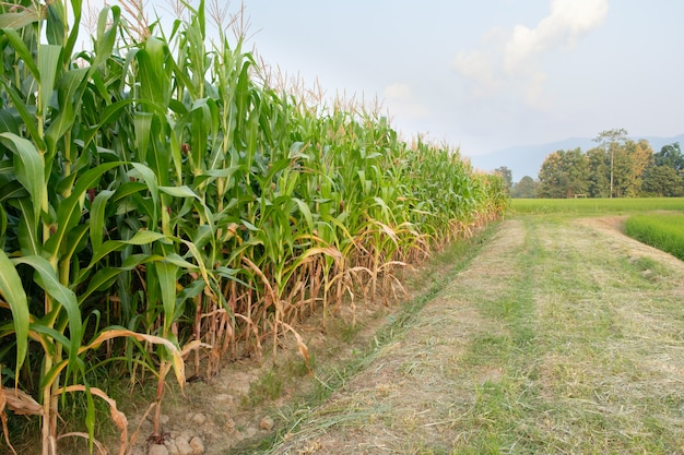 Corn is not fully grown in farm