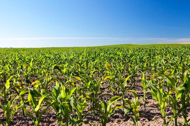 トウモロコシは農地に完全に播種されています