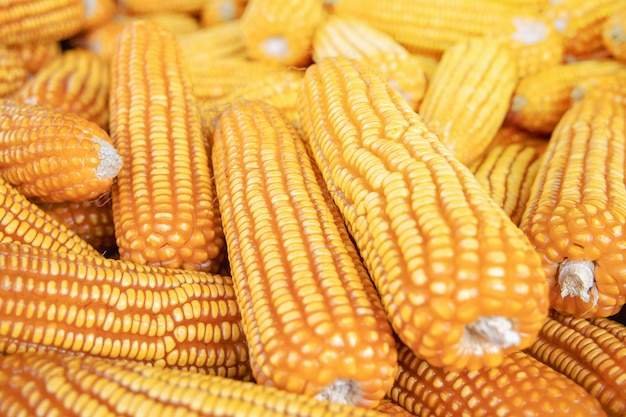Corn or maize for processing into fodder
