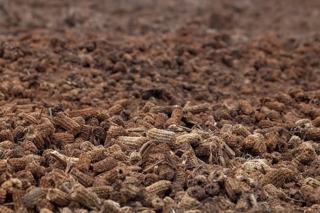 Corn piles on the soil which is rotten agricultural products