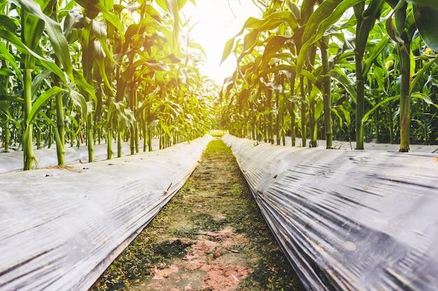 日没の屋外の農業分野で緑の葉の成長とトウモロコシ植物
