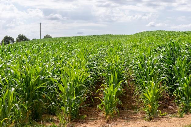 トウモロコシのプランテーション。輸出のための農業の概念