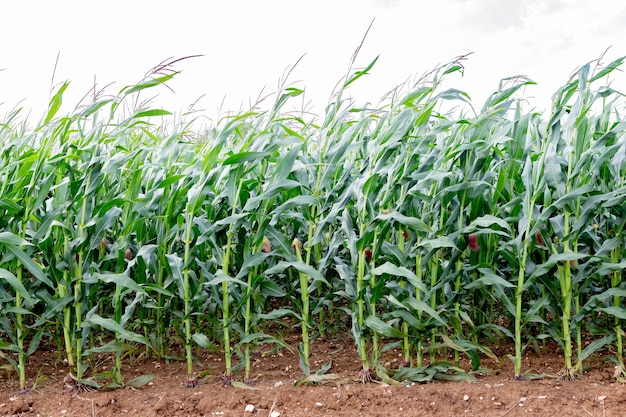 Corn plantation growing fast and healthy. green foliage, cobs developing. farming scene.