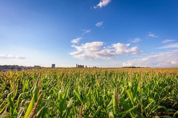 背景に建物がある晴れた日のトウモロコシ農園
