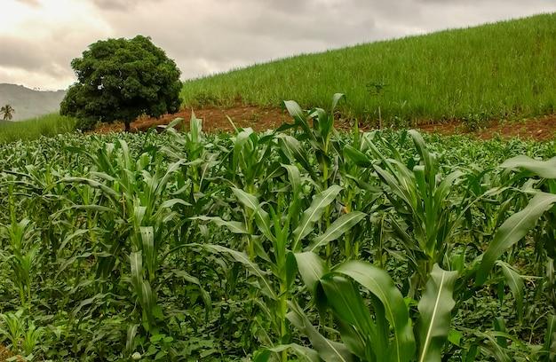Кукурузная плантация в хуарес-тавора, параиба, бразилия, 16 мая 2005 года.