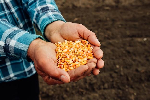 Семена кукурузы в руке фермера. семена кукурузы в руках фермера, сельское хозяйство.