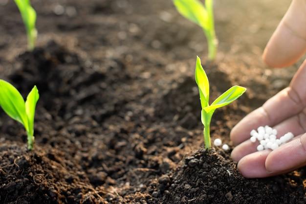トウモロコシの苗は肥沃な地面から育っています。