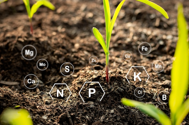 トウモロコシの苗木は肥沃な地面から育ち、作物に適した土壌中のミネラルに関する技術アイコンを持っています。
