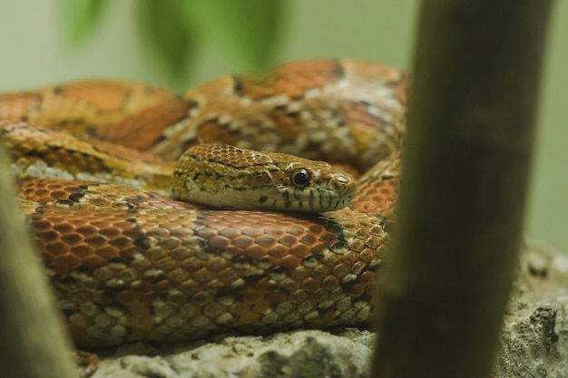 Corn snake on the rock is a snake that has been popular for raising beautiful colors