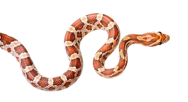 Corn snake on white