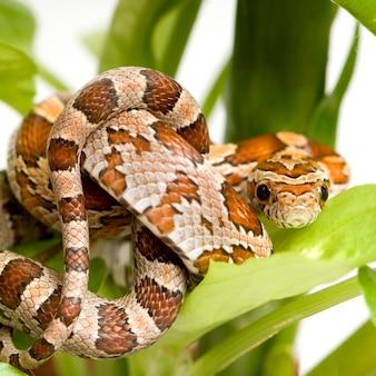 Corn snake on white