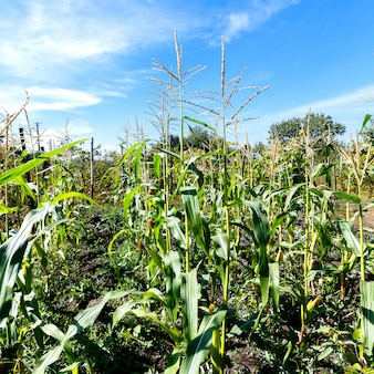 Corn sprouts on a blue sky