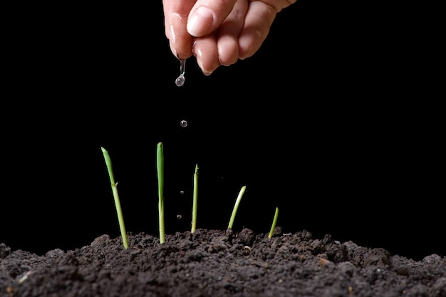 Corn sprouts. new concept of life. green seedlings appear from soil in spring. close-up. black background