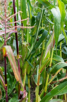 Corn stalks with young ears