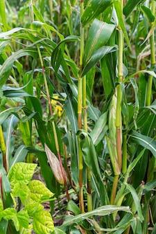 Стебли кукурузы с молодыми колосьями