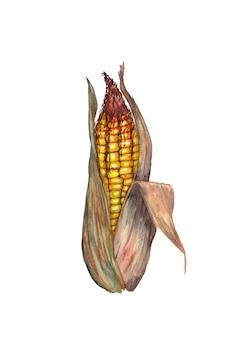 Corn.  watercolor illustration.