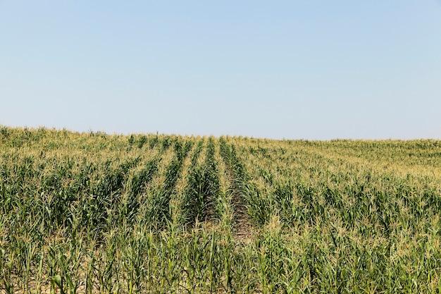 トウモロコシ畑、トウモロコシ、青い空と夏の未熟な緑の野原で撮影された青い空
