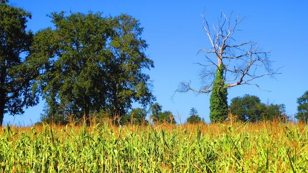 澄んだ青い空を背景に木々とトウモロコシ畑