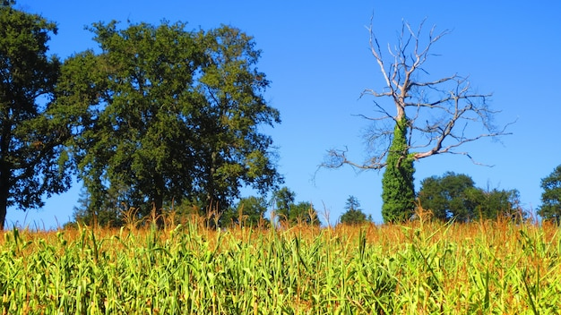 Cornfield with trees against a clear blue sky