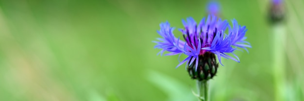 수레 국화는 푸른 보라색 꽃이 만개 한 야생 들판 허브입니다. 수레 국화 (latin. centaurea cyanus)는 초본 식물의 속입니다