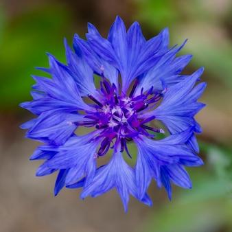 수레 국화. 단일 네이비 블루 꽃잎