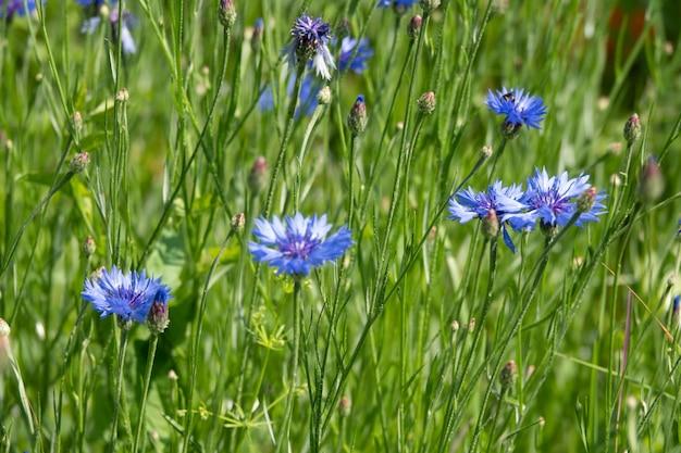 여름 초원에서 석양 빛에 수레 국화와 푸른 잔디