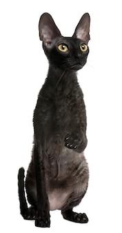 Кот корниш рекс, 1 год. портрет кота изолированный