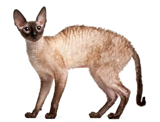 Кот корниш рекс, 14 месяцев. портрет кота изолированный