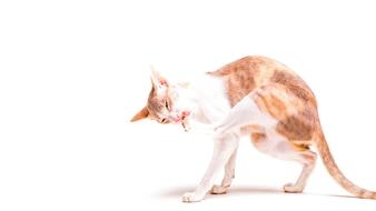 Корниш-рекс кошка облизывает свою лапу на белом фоне