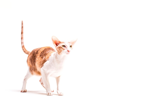 Cornish rex cat with its tail up standing against white background