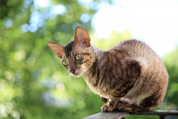 Корниш рекс серый кот