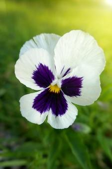 Виола cornuta pansies.pansy белый цветок в саду в ярких лучах солнца.