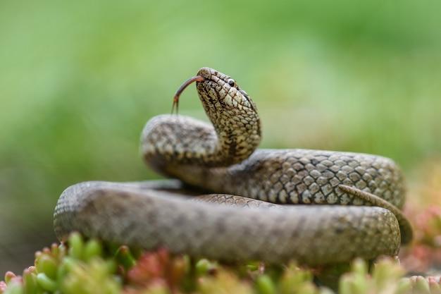 Гладкая змея, coronella austiraca,
