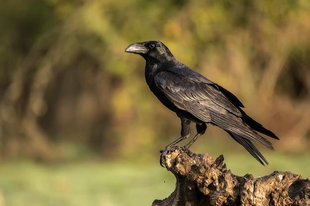 Corvos corax, raven