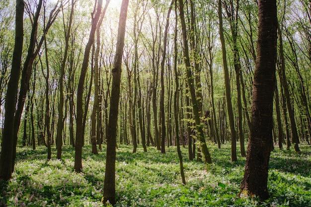 Corydalis cava春先に咲く野生の森の花、白紫紫開花地緑の葉の美しい小さな植物
