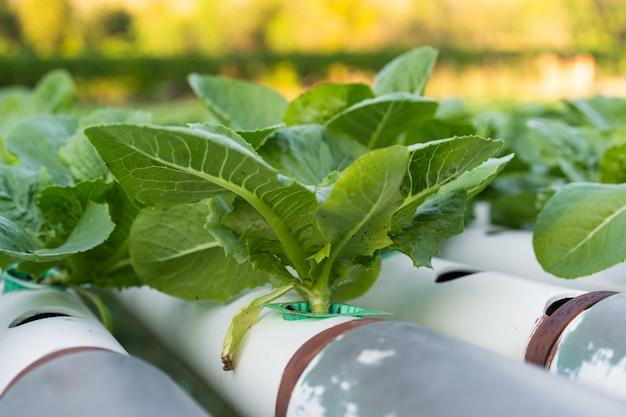 Cos romaine lettuce hydroponic