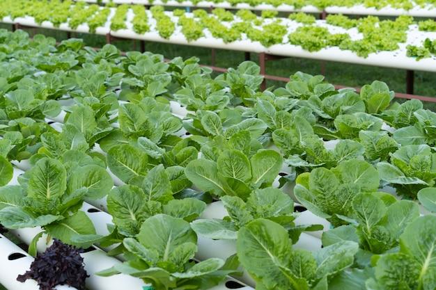 Cos romaine салат гидропонный