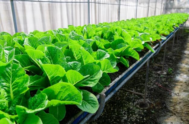 Салат cos или ромейн в органической ферме