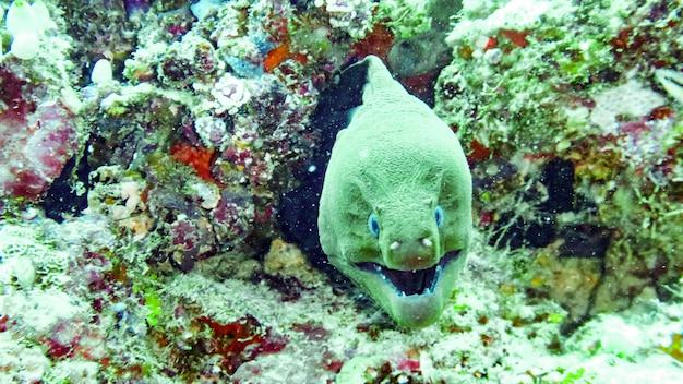 Coseup giant moray eel in maldives.